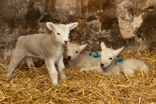 Spring Lambs in North Yorkshire